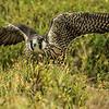 Peregrine Falcon (Oct 2015)