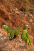 Yellow-crowned Parrot (amazona ochrocephala)<br /> <br /> Red-bellied Macaw (Orthopsittaca manilata)<br /> <br /> You may purchase a print or a digital download. If purchasing a digital download please look at the licensing agreement terms for personal or commercial use.
