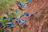 Blue and Yellow Macaws (Ara ararauna)<br /> <br /> Scarlet Macaws (Ara macao)<br /> <br /> You may purchase a print or a digital download. If purchasing a digital download please look at the licensing agreement terms for personal or commercial use.