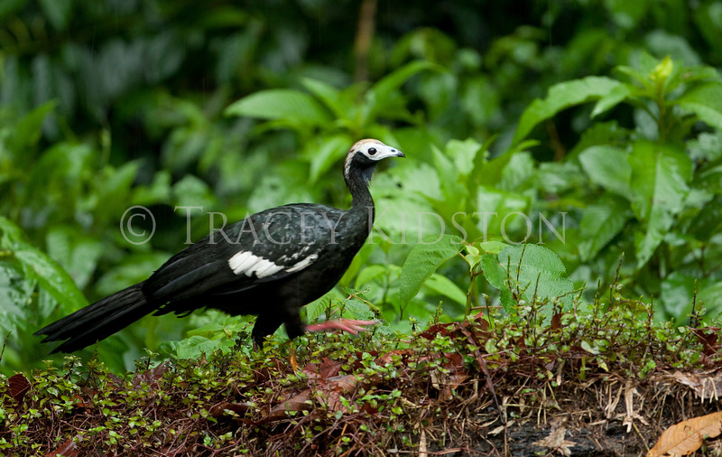 Blue-throated Piping Guan (Pipile cumanesis)<br /> <br /> You may purchase a print or a digital download. If purchasing a digital download please look at the licensing agreement terms for personal or commercial use.