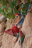 Red and green Macaw (Ara chloropterus)<br /> <br /> You may purchase a print or a digital download. If purchasing a digital download please look at the licensing agreement terms for personal or commercial use.