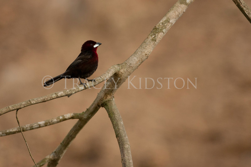 Silver-beaked Tanager (Ramphocelus carbo)<br /> <br /> You may purchase a print or a digital download. If purchasing a digital download please look at the licensing agreement terms for personal or commercial use.
