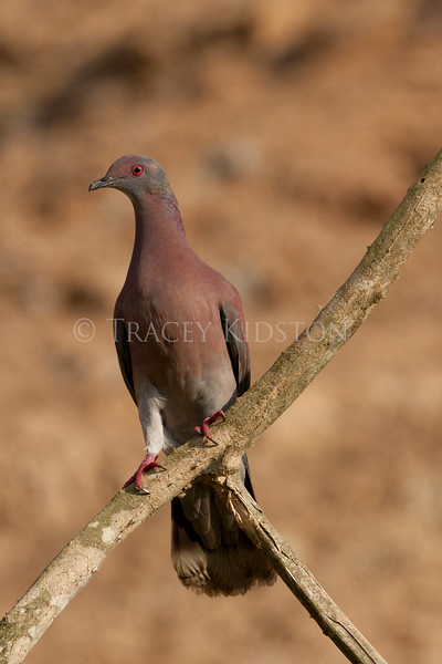 Pale-vented Pigeon (Patagioenas cayennensis)<br /> <br /> You may purchase a print or a digital download. If purchasing a digital download please look at the licensing agreement terms for personal or commercial use.