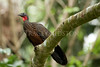 Spix's Guan (Penelope jacquacu)<br /> <br /> You may purchase a print or a digital download. If purchasing a digital download please look at the licensing agreement terms for personal or commercial use.