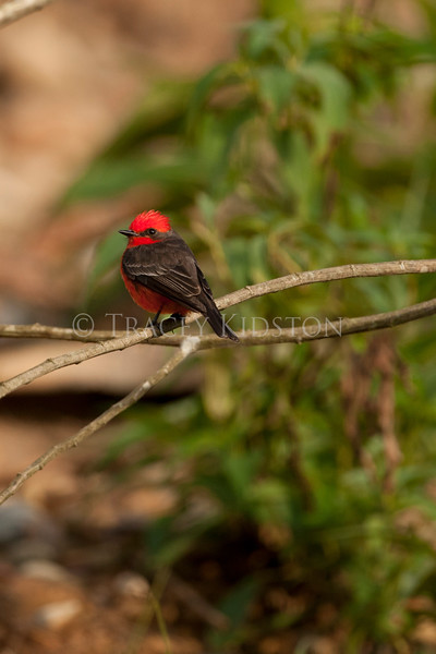 Vermilion Flycatcher (Pyrocephalus rubinus)<br /> <br /> You may purchase a print or a digital download. If purchasing a digital download please look at the licensing agreement terms for personal or commercial use.