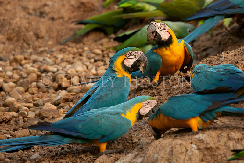 Blue and Yellow Macaws (Ara ararauna)<br /> <br /> You may purchase a print or a digital download. If purchasing a digital download please look at the licensing agreement terms for personal or commercial use.