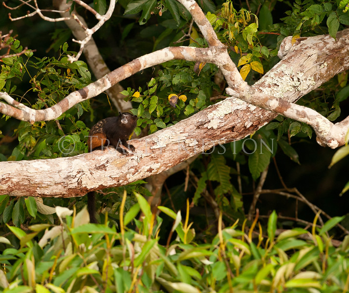 Saddle-backed Tamarin (Saguinus fuscicollis)<br /> <br /> You may purchase a print or a digital download. If purchasing a digital download please look at the licensing agreement terms for personal or commercial use.