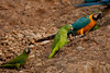 Chestnut-fronted Macaw (Ara severa)<br /> <br /> Yellow-crowned Parrot (amazona ochrocephala)<br /> <br /> Blue and yellow Macaw (Ara ararauna)<br /> <br /> You may purchase a print or a digital download. If purchasing a digital download please look at the licensing agreement terms for personal or commercial use.