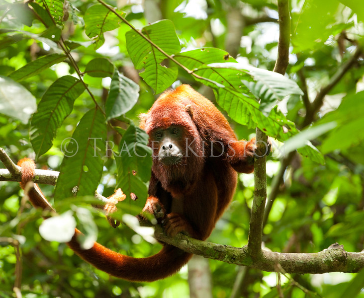 Red Howler Monkey (Alouatta seniculus)<br /> <br /> You may purchase a print or a digital download. If purchasing a digital download please look at the licensing agreement terms for personal or commercial use.