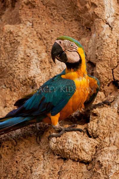 Blue and yellow Macaw (Ara ararauna)<br /> <br /> You may purchase a print or a digital download. If purchasing a digital download please look at the licensing agreement terms for personal or commercial use.
