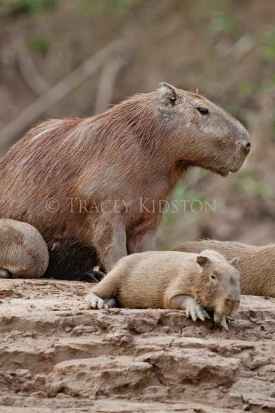 Capybara (Hydrochaeris hydrochaeris)<br /> <br /> You may purchase a print or a digital download. If purchasing a digital download please look at the licensing agreement terms for personal or commercial use.