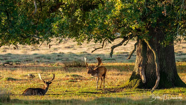 A handsome pair of young stags.
