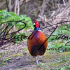 Pheasant russell finney photography a (3)