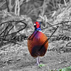 Pheasant russell finney photography a (2)