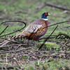Pheasant russell finney photography a (1)