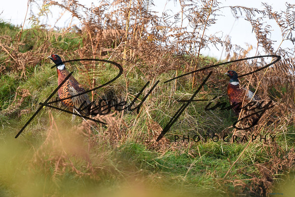Pheasant russell finney photography a (6)