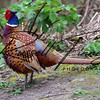 Pheasant russell finney photography a (4)