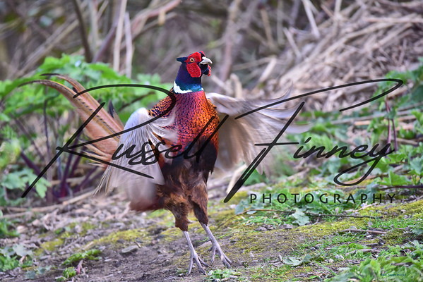 Pheasant russell finney photography a (5)