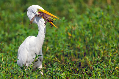 This Egret was photographed  at Alligator River Wildlife Refuge in August. My objective was to photograph black bears, but wheen I saw movement in one of the canals ,  I changed my direction