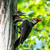 Pileated and chicks 19 May 2019-9343