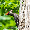 Pileated and chicks 19 May 2019-9369