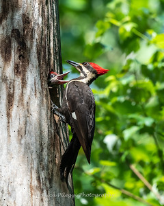 Pileated and chicks 19 May 2019-9239