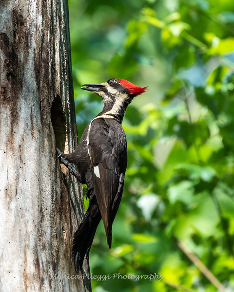 Pileated and chicks 19 May 2019-9228