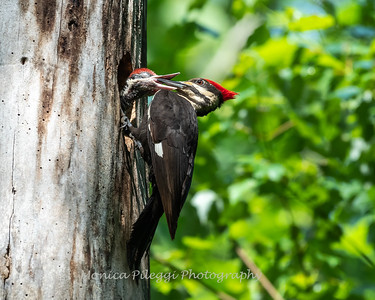 Pileated and chicks 19 May 2019-9268