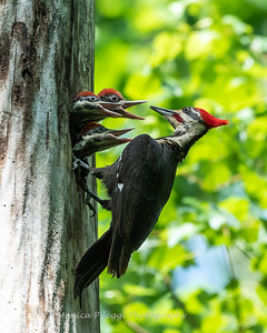 Pileated and chicks 19 May 2019-9347