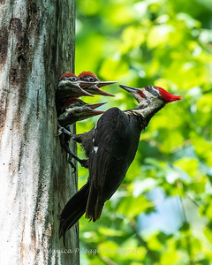 Pileated and chicks 19 May 2019-9348