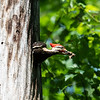 Pileated and chicks 19 May 2019-9330