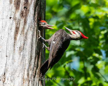 Pileated and chicks 19 May 2019-9323