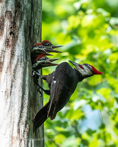 Pileated and chicks 19 May 2019-9346