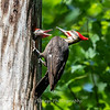 Pileated and chicks 19 May 2019-9311