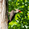 Pileated and chicks 19 May 2019-9293