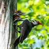 Pileated and chicks 19 May 2019-9345