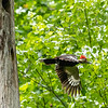 Pileated and chicks 20 May 2019-9698