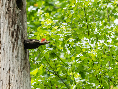 Pileated and chicks 20 May 2019-9696