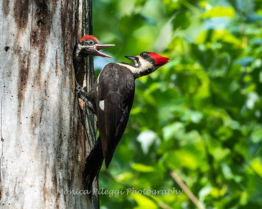 Pileated and chicks 19 May 2019-9259