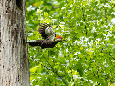 Pileated and chicks 20 May 2019-9697