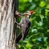 Pileated and chicks 19 May 2019-9308