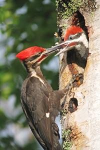 Pileated Woodpecker 12
