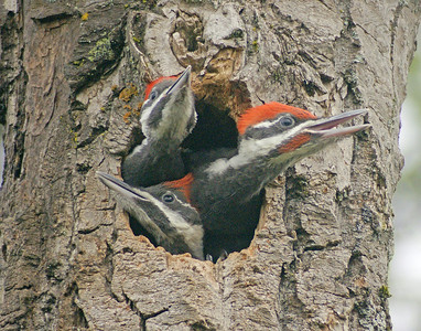 Pileated Woodpecker 29