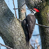 Pileated-Hawk-Bluebird-18-March-2017-0023