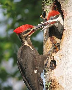 Pileated Woodpecker 11