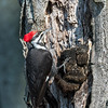 Pileated-Hawk-Bluebird-18-March-2017-9964
