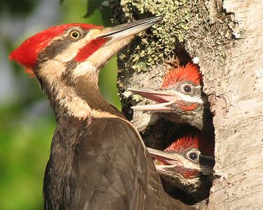 Pileated Woodpecker 13