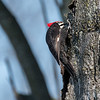 Pileated-Hawk-Bluebird-18-March-2017-9984