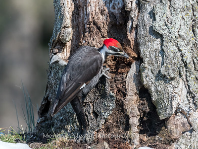 Pileated-Hawk-Bluebird-18-March-2017-9992