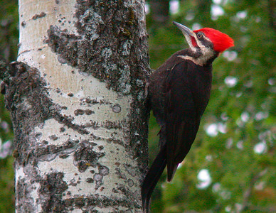 Pileated Woodpecker 3